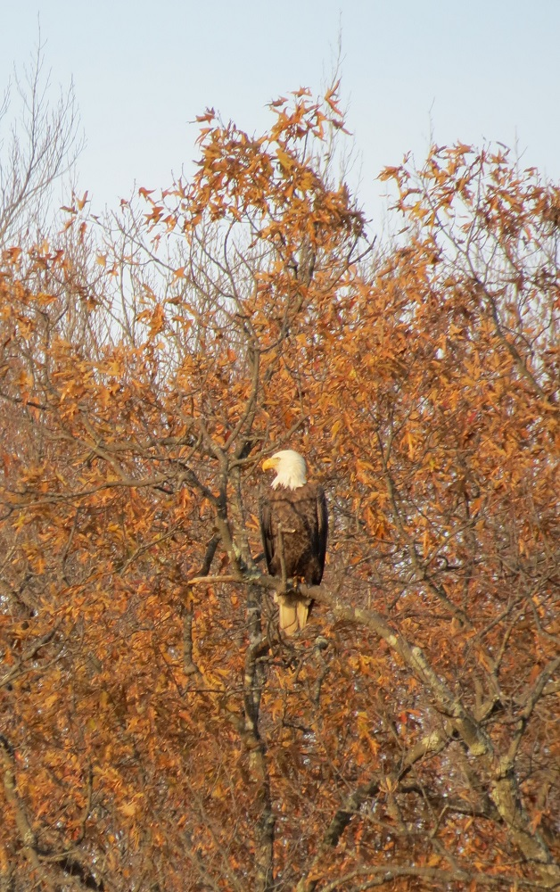 Bald Eagle, Virginia, 11/29/14