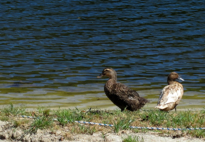 2016-09-12_ducks_preslakes_morning-walk_img_4112_smaller