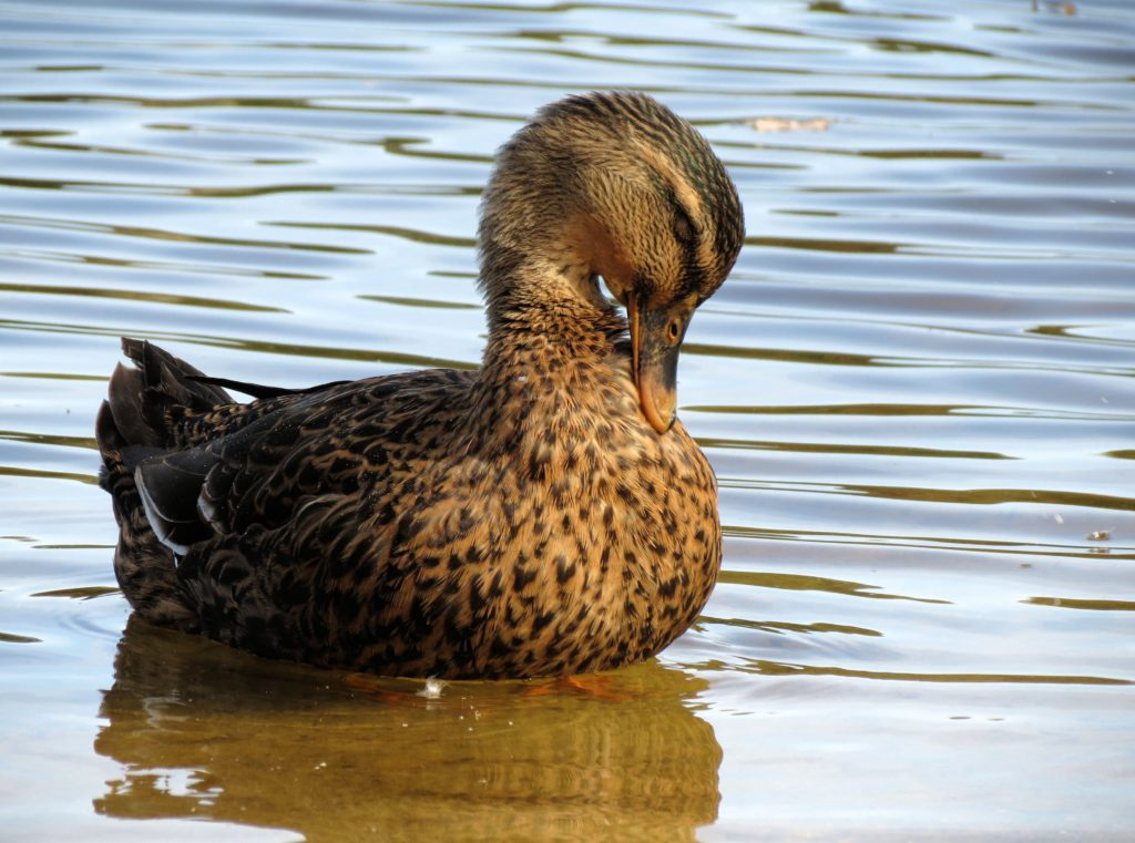 Duck preening its feathers